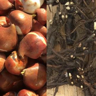Bulbes et racines de pivoine